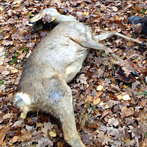 dode ree bij werkzaamheden natuurbegraafplaats Brabant